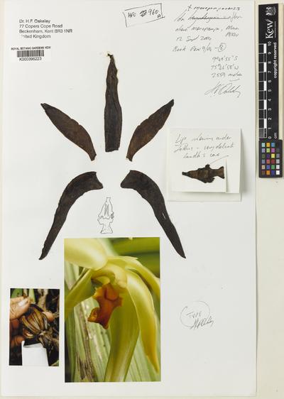 Sudamerlycaste monopampanensis (Oakeley) Archila