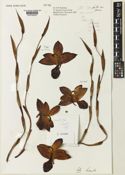 Sudamerlycaste locusta (Rchb.f.) Archila