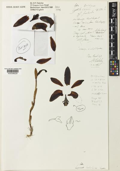 Sudamerlycaste lacheliniae (Oakeley) Archila