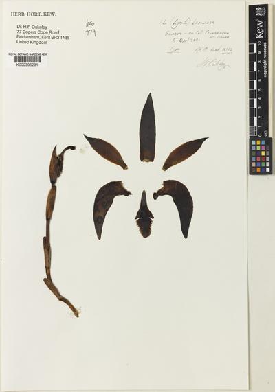 Sudamerlycaste laciniata (Oakeley) Archila