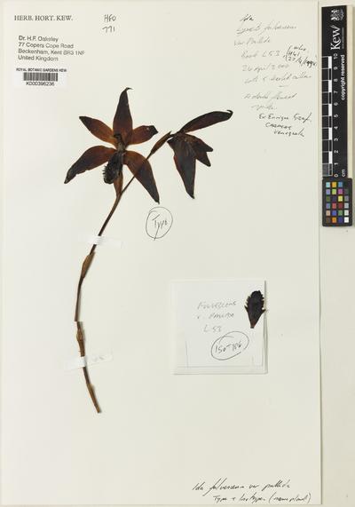 Sudamerlycaste fulvescens (Hook.) Archila var. pallida