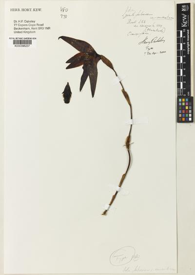 Sudamerlycaste fulvescens (Hook.) Archila var. aurantiaca