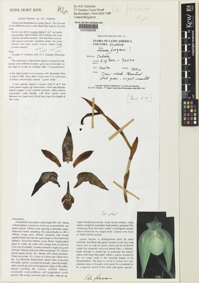 Sudamerlycaste fragans (Oakeley) Archila