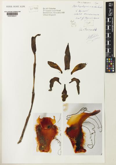 Sudamerlycaste troyanoi (Oakeley) Archila