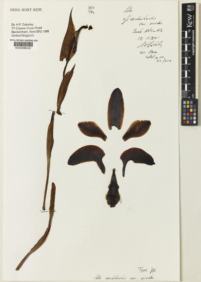 Sudamerlycaste reichenbachii (Gireoud ex Rchb.f.) Archila var. viridis (Oakeley) Archila