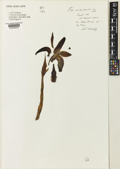 Sudamerlycaste reichenbachii (Gireoud ex Rchb.f.) Archila