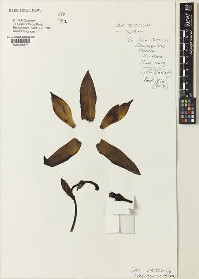 Sudamerlycaste priscilae (I.Portilla ex Oakeley) Archila