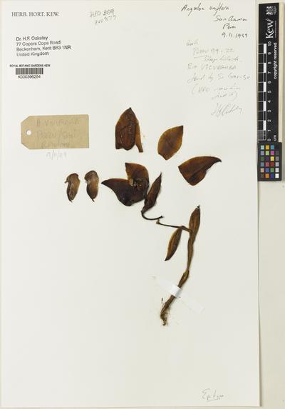 Anguloa uniflora Ruiz & Pav.