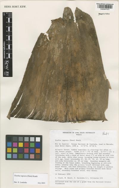 Guadua tagoara (Nees) Kunth