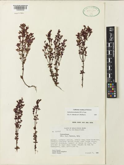 Siphanthera arenaria (DC.) Cogn.