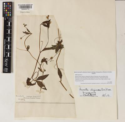 Acmella uliginosa (Sw.) Cass.
