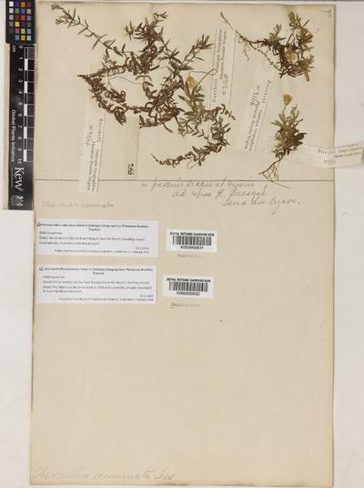 Chevreulia acuminata Less.