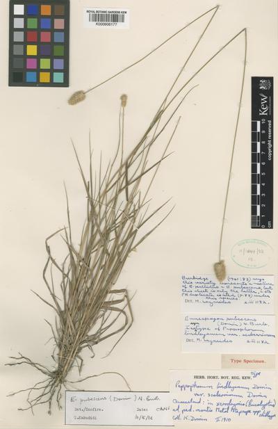 Enneapogon lindleyanus (Domin) C.E.Hubb.