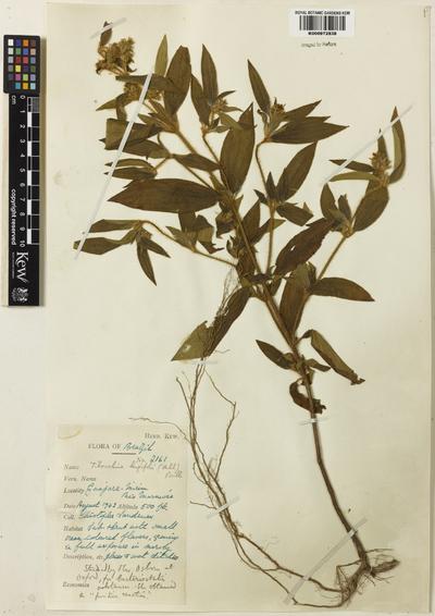 Tibouchina longifolia Baill.