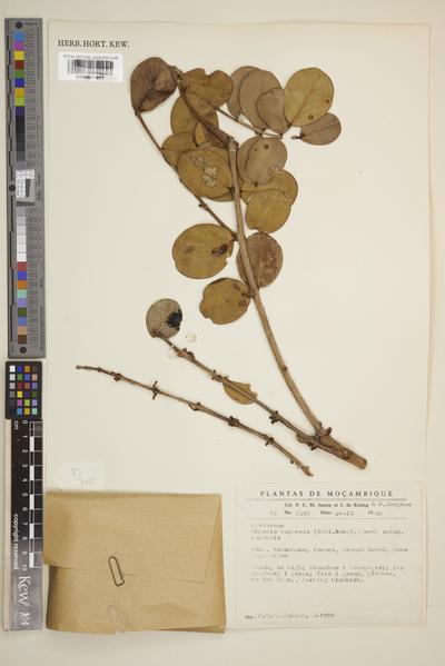 Eugenia capensis (Eckl. & Zeyh.) Harv. subsp. capensis