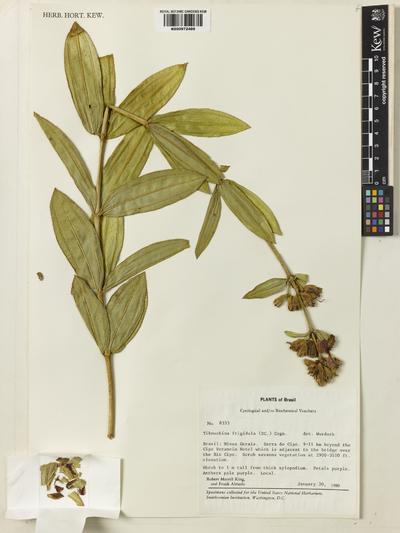 Tibouchina frigidula (DC.) Cogn.