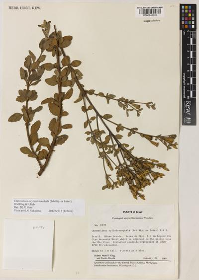 Chromolaena cylindrocephala (Sch.Bip. ex Baker) R.M.King & H.Rob.