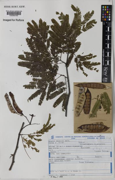 Acacia praecox Griseb.
