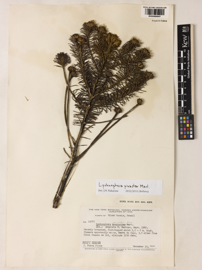 Lychnophora pinaster Mart.