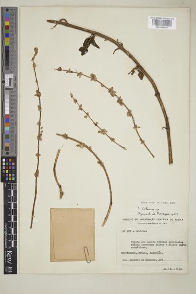 Plectranthus amboinicus Spreng.