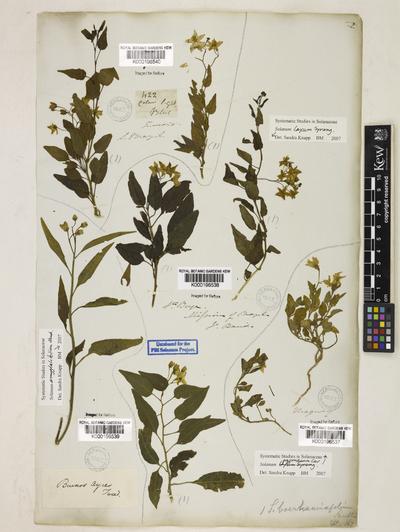 Solanum pygmaeum Cav.