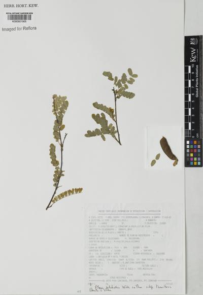 Abrus pulchellus Wall. ex Thwaites subsp. tenuiflorus (Spruce ex Benth.) Verdc.