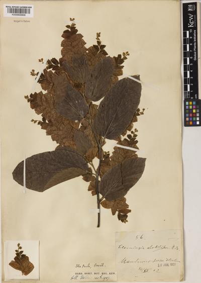 Flemingia strobilifera R.Br.