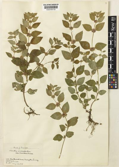 Mentha arvensis L.