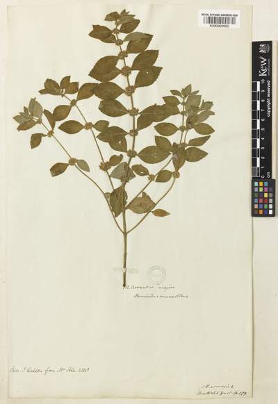 Mentha arvensis Sole.
