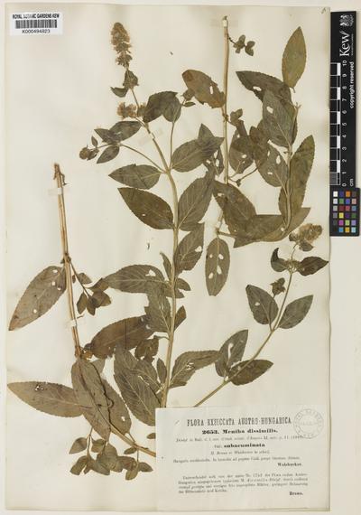 Mentha aquatica L.