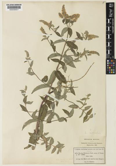Mentha spicata L.