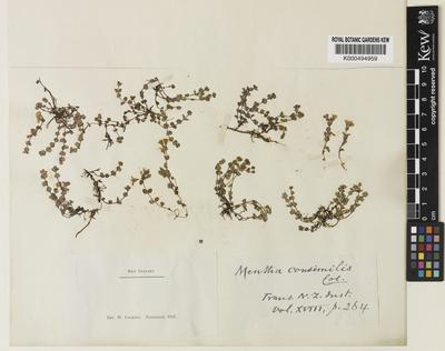 Mentha cunninghamii (Benth.) Benth.