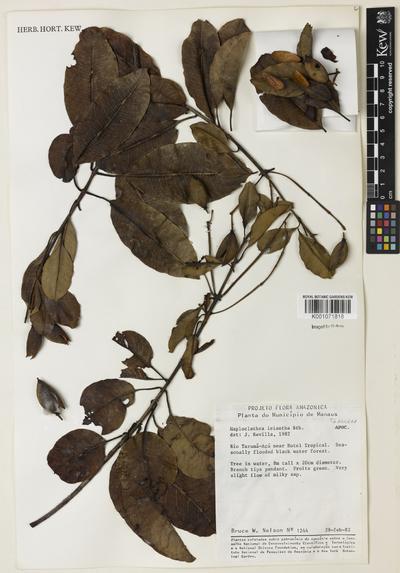 Haploclathra leiantha Benth.