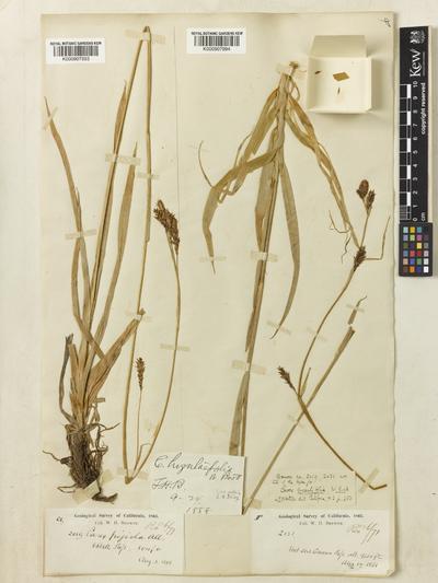 Carex luzulifolia W.Boott