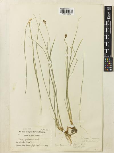 Carex lugens Holm