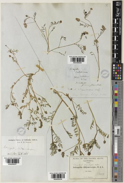 Astragalus didymocarpus Hook. & Arn.