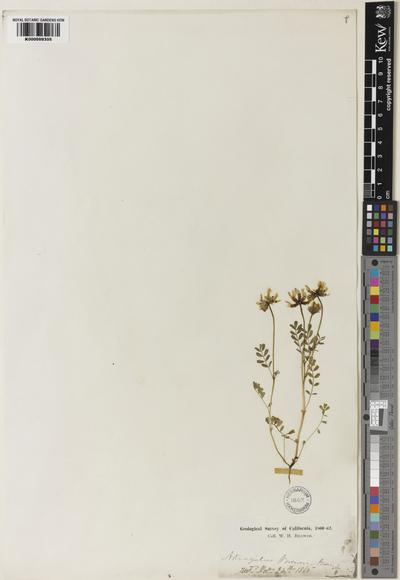 Astragalus breweri A.Gray