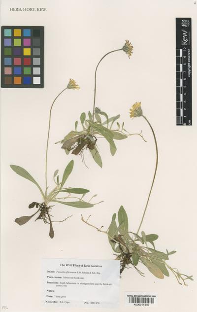 Pilosella officinarum F.W.Schultz & Sch. Bip.