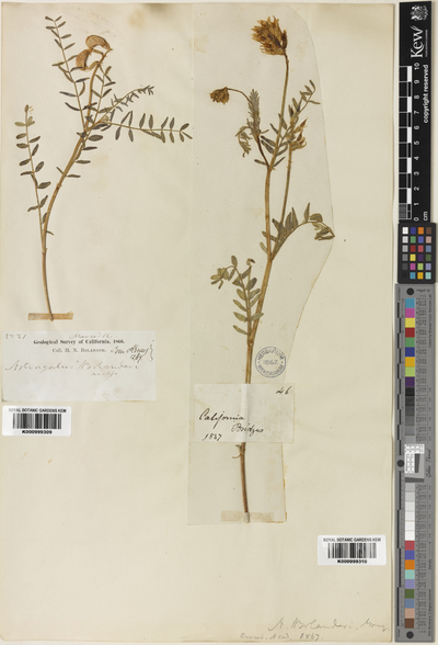 Astragalus bolanderi A.Gray