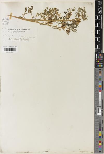 Astragalus ineptus A.Gray