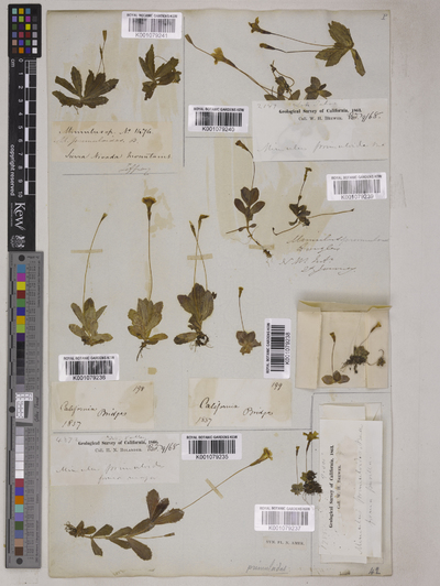 Mimulus primuloides Benth.