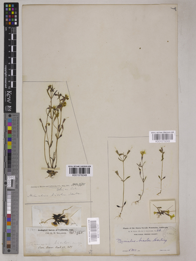 Mimulus bicolor Hartw. ex Benth.