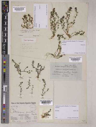 Triphysaria pusilla (Benth.) T.I.Chuang & L.R.Heckard