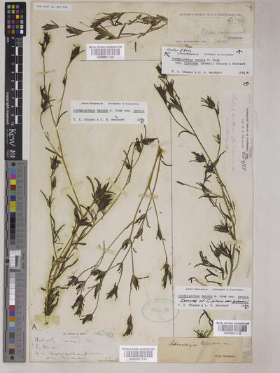 Cordylanthus tenuis A.Gray subsp. tenuis