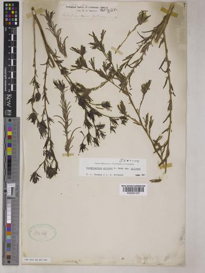 Cordylanthus pilosus A.Gray subsp. pilosus