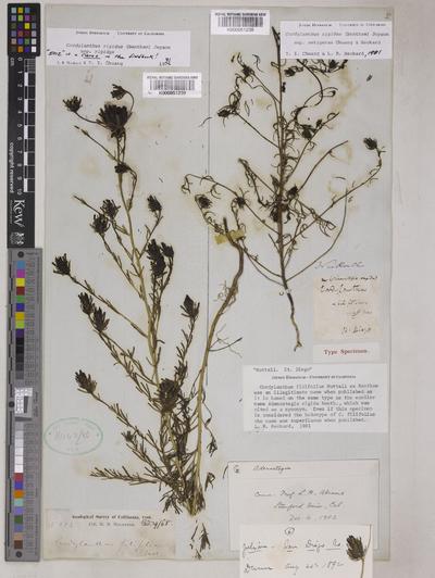 Cordylanthus rigidus (Benth.) Jeps. subsp. setigerus T.I. Chuang & Heckard