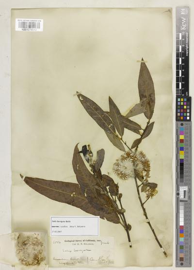 Salix laevigata Bebb