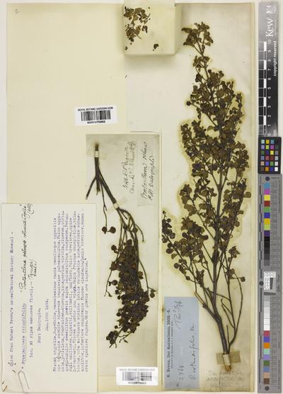 Prostanthera rotundifolia R.Br.
