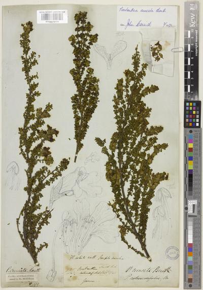 Prostanthera cuneata Benth.