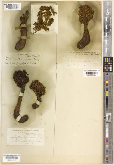 Aphyllon tuberosum A.Gray